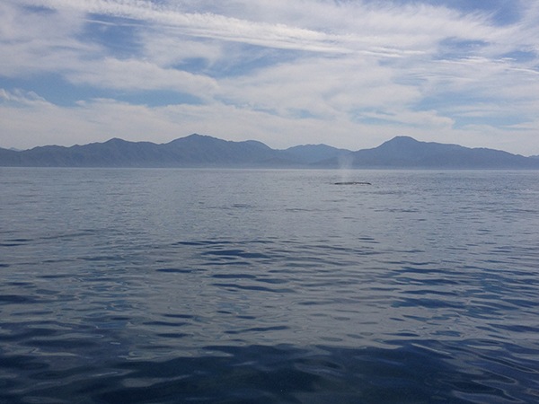Grey whale in the distance