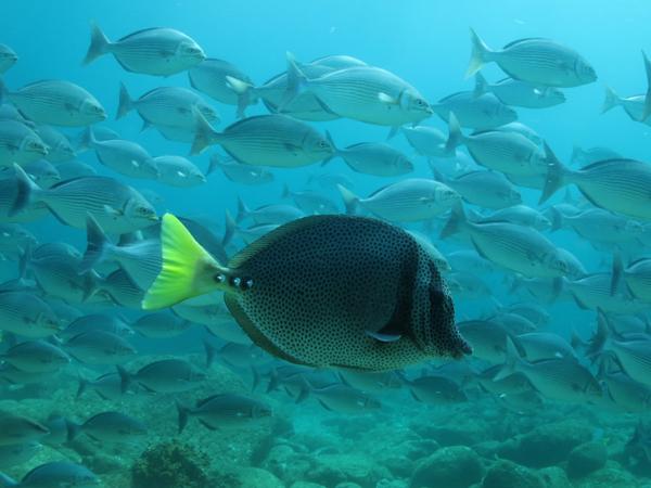 cortez seachub-yellowtail surgeonfish_resized